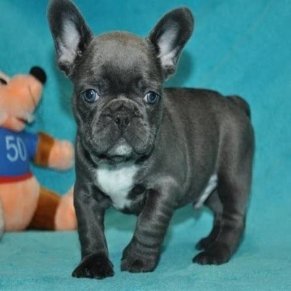 Adorable French Bulldogs Puppies Available Text Us At 217-471-7677