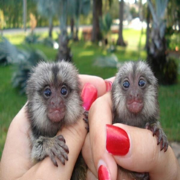 Gorgeous Marmoset Monkeys for Adoption